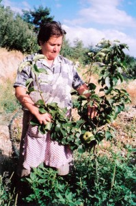 Nashi Fruit first plantation - Anastasia Karashialis